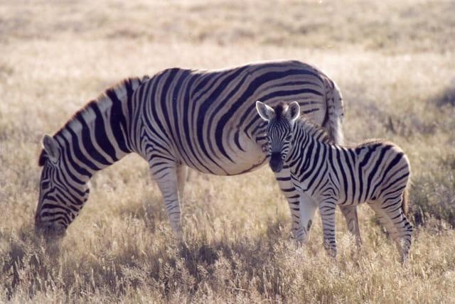 Maman et junior zèbres