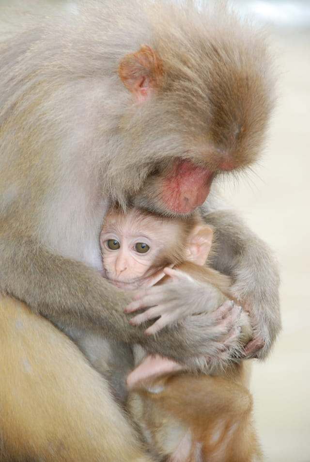 Maman singe et son bébé
