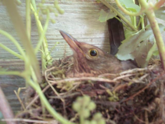 Merle dans son nid