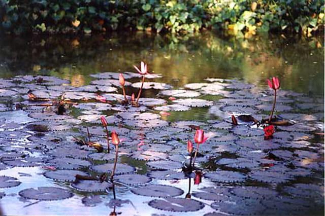 Mare aux lotus