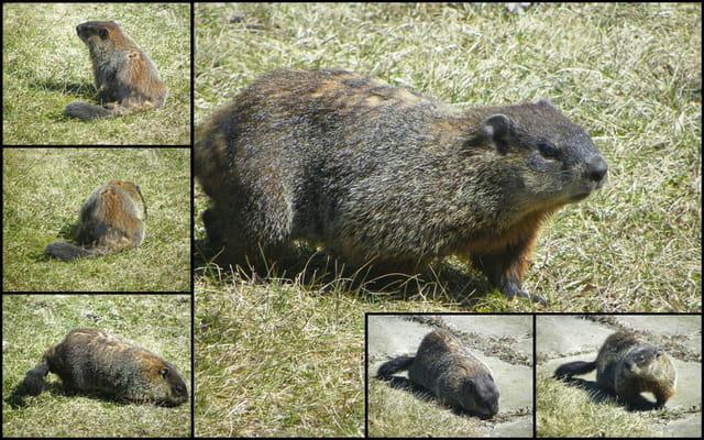 Marmotte 2011