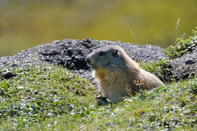 Marmotte à la sortie du terrier