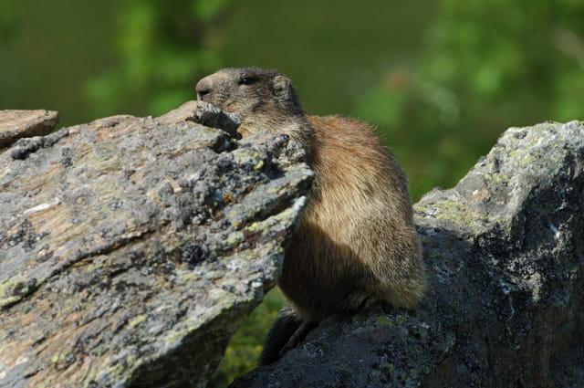 Marmotte en observation