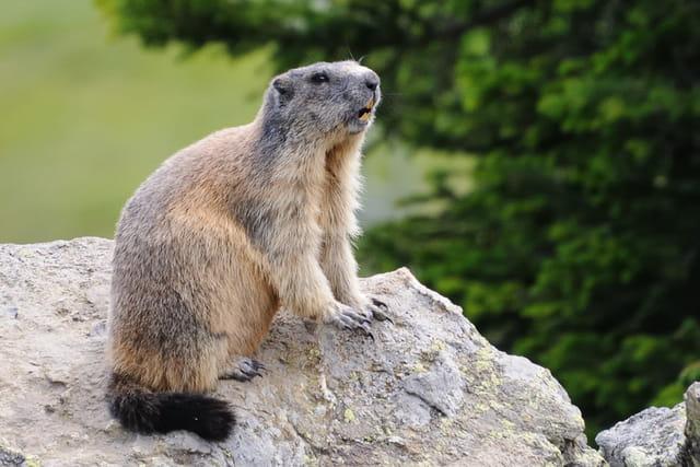Marmotte sauvage