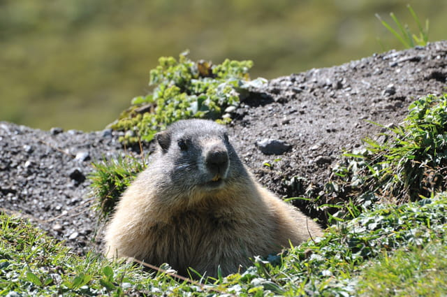 Marmotte sauvage sortant de son terrier