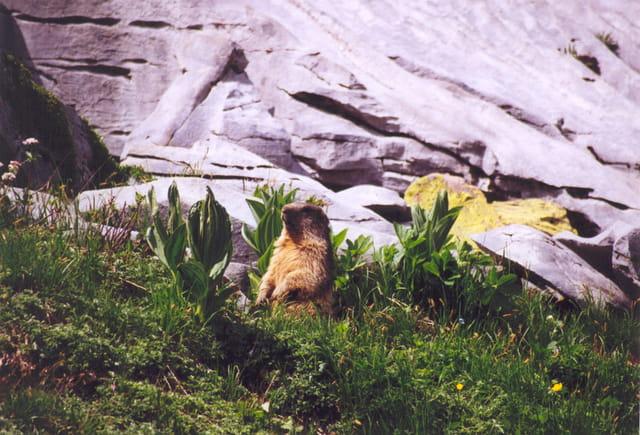 Marmotte savoyarde