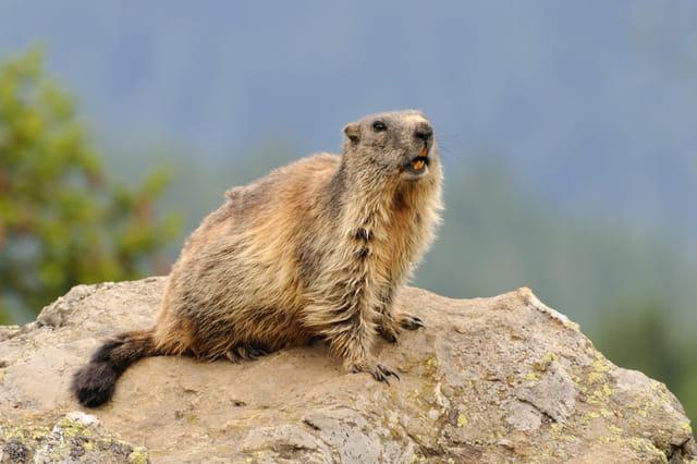 Marmotte sentinelle sur son rocher