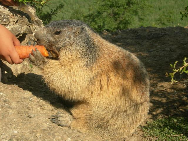 Marmottes apprivoisées