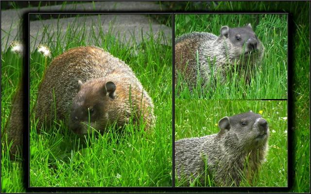 Marmottes retour