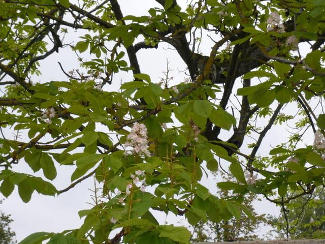 Marronnier en fleurs en Octobre