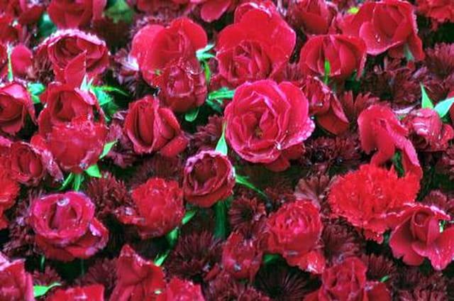 Massif de roses rouges