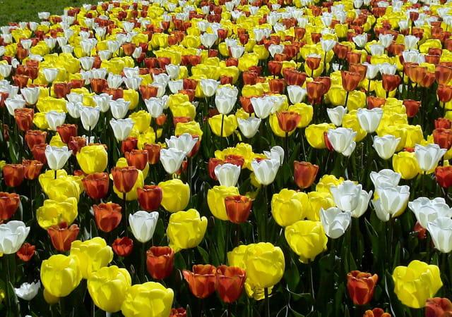 Mer de tulipes