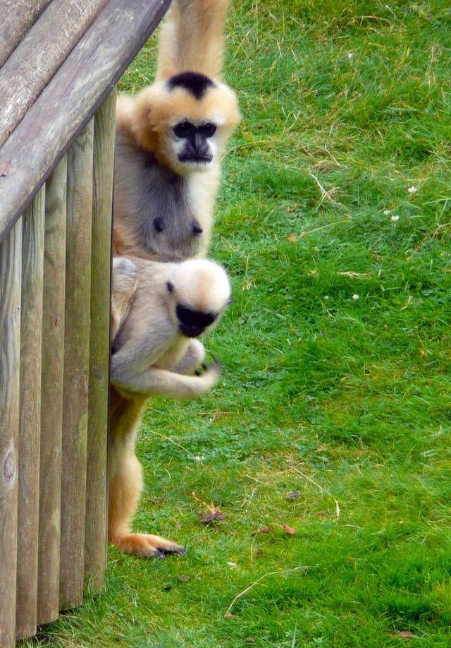 Mère gibbon et son petit