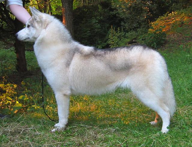 Merion husky
