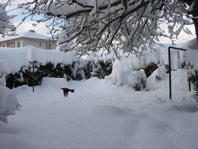 Merle dans la neige