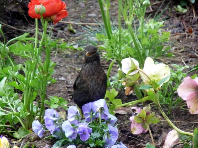 Merle noir dans les fleurs