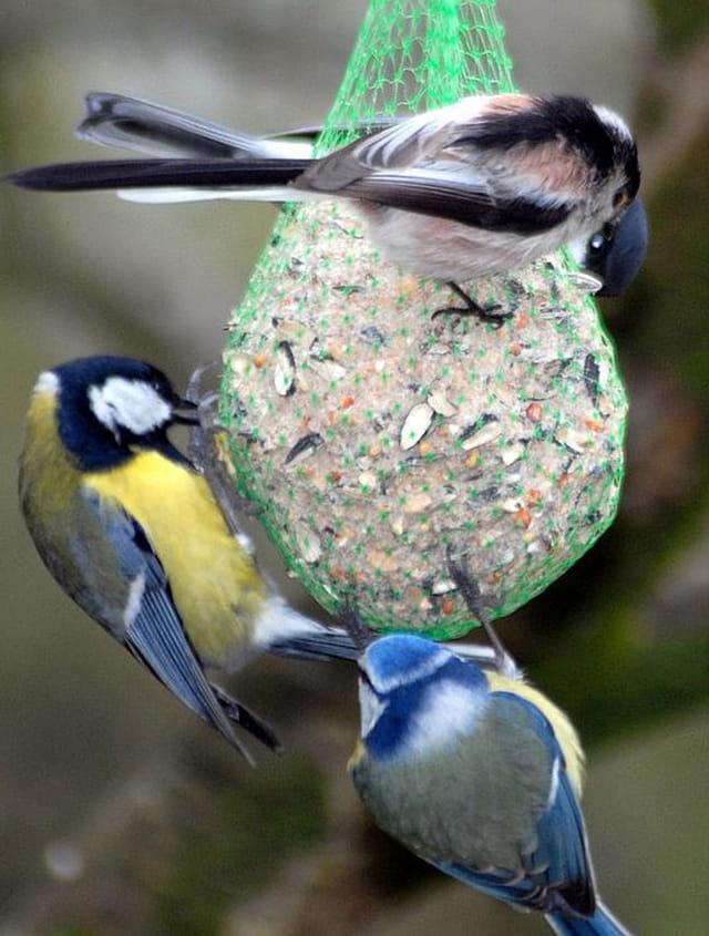 Mésange charbonnière,mésange bleue et mésange à longue queue