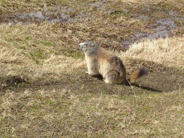 Mignonne marmotte