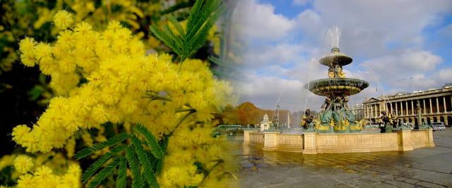 Mimosa sur la Fontaine des mers