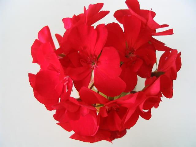 Mini bouquet géranium