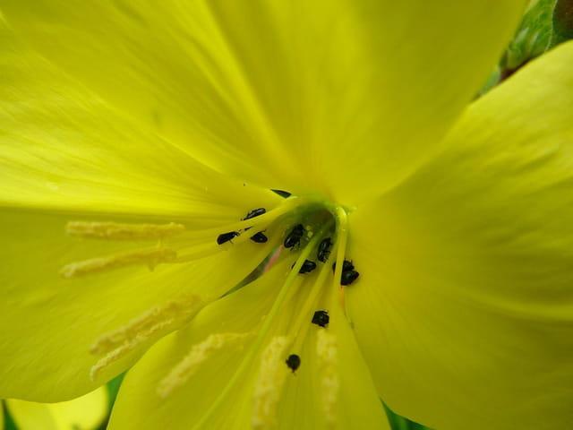 minuscules insectes inconnu sur une fleur d 39 onagre par jacqueline dubois sur l 39 internaute. Black Bedroom Furniture Sets. Home Design Ideas
