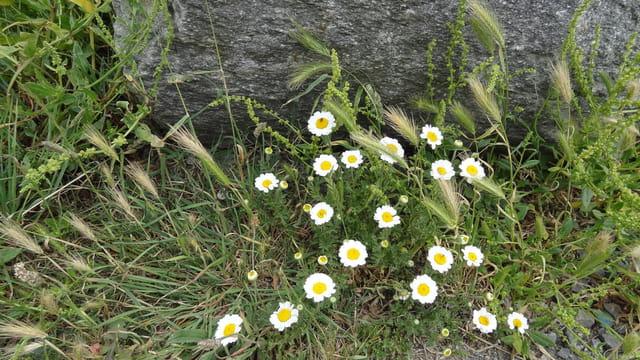 modestes fleurs d'un chemin