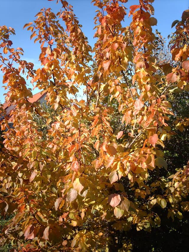 Mon abricotier à l'automne