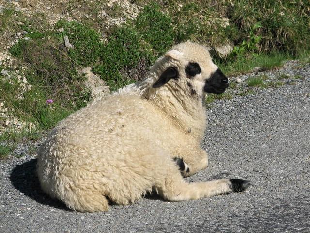 Mon ami le mouton