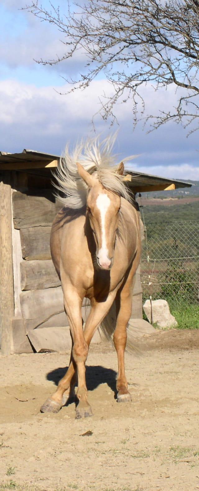 Mon cheval Caly danse