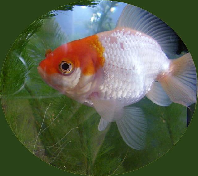 Mon poisson rouge par edith durouchard sur l 39 internaute for Recherche poisson rouge