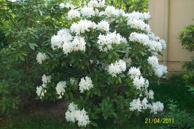 mon rhodo blanc en fleurs par mich le chambonneau sur l 39 internaute. Black Bedroom Furniture Sets. Home Design Ideas