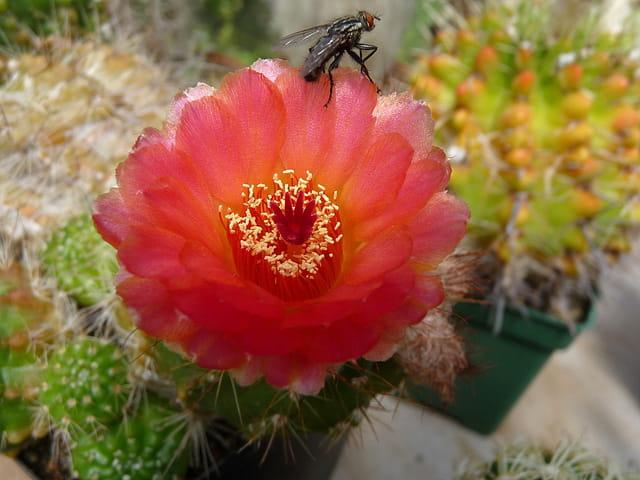 Mouche et fleur de Parodia