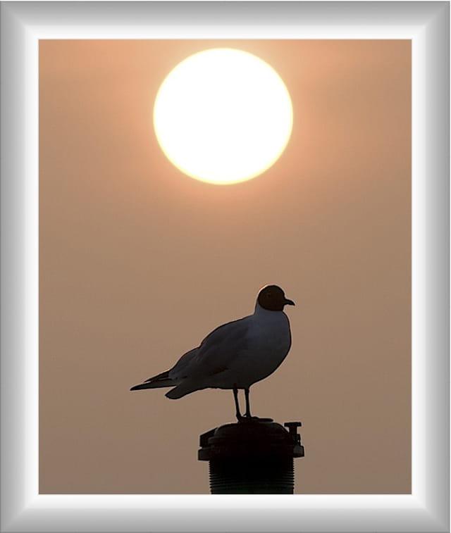 Mouette au coucher du soleil