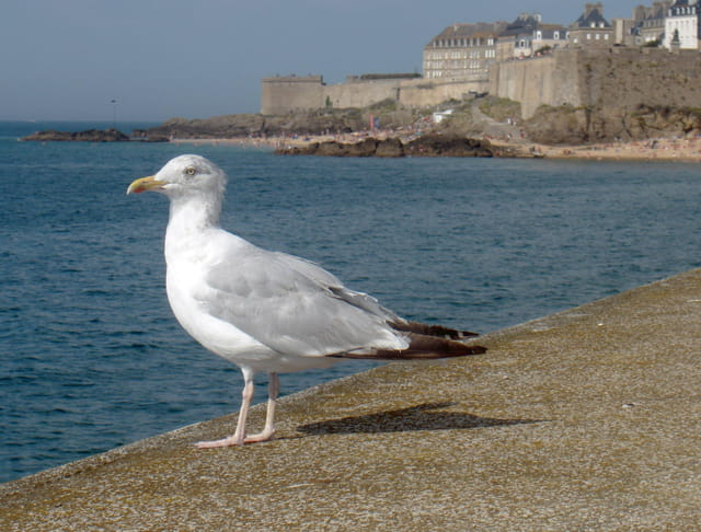 Mouette Saint Malo