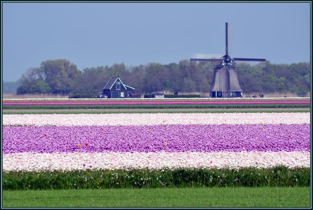 Moulin et champ de tulipes