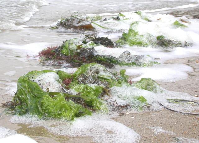Mousse d'algues