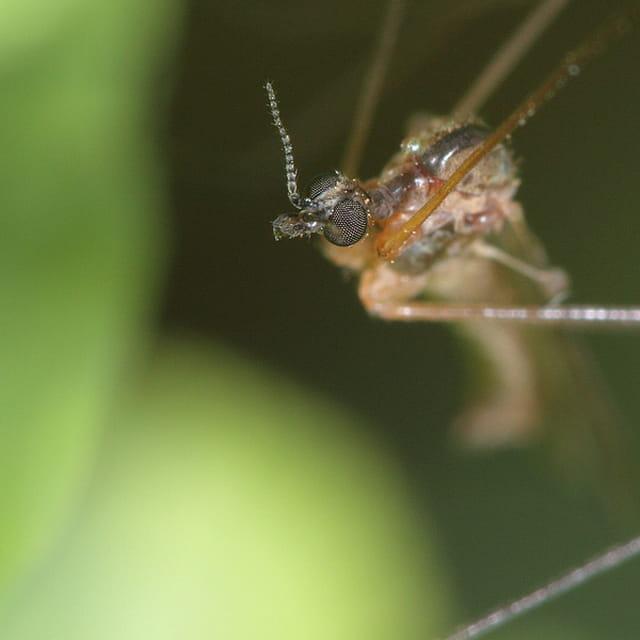 Moustique en approche