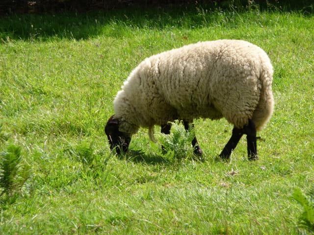 Mouton à tête noire