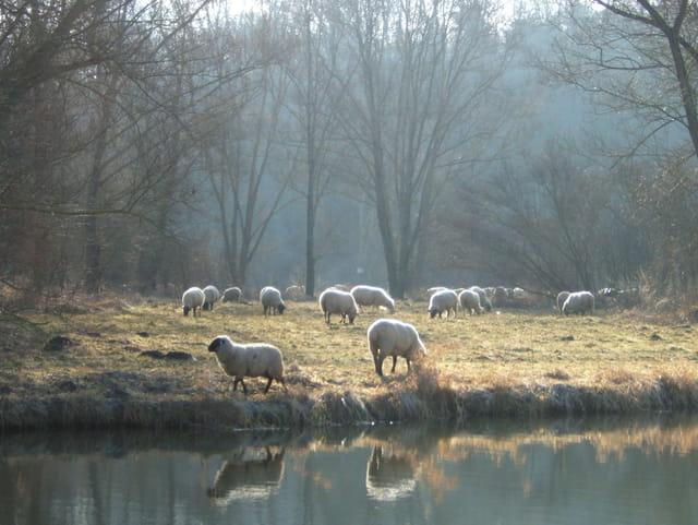 Moutons au bord de l'eau