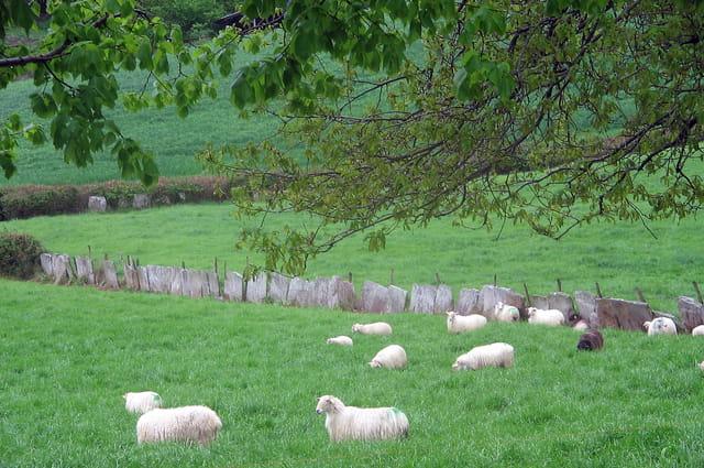 Moutons blancs