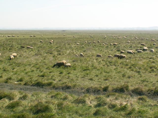 Moutons dans prés salés