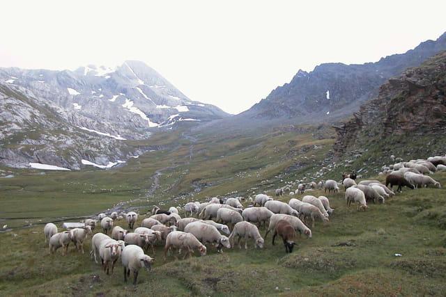 Moutons du Queyras