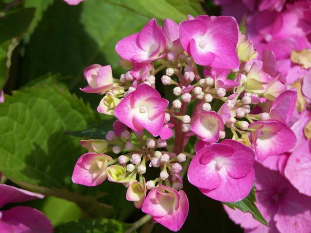Naissance d'hortensia