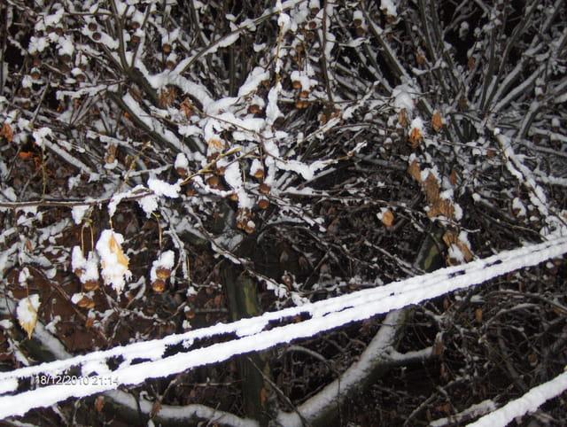 Neige dans un platane