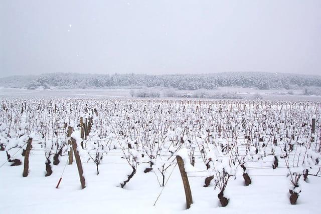 Neige sur les vignes