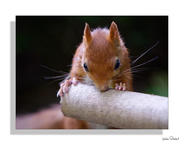 Nestor l'écureuil