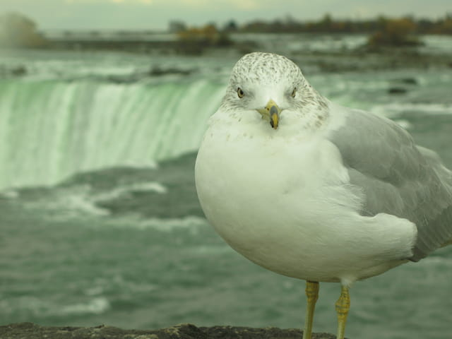 Niagara Mouette