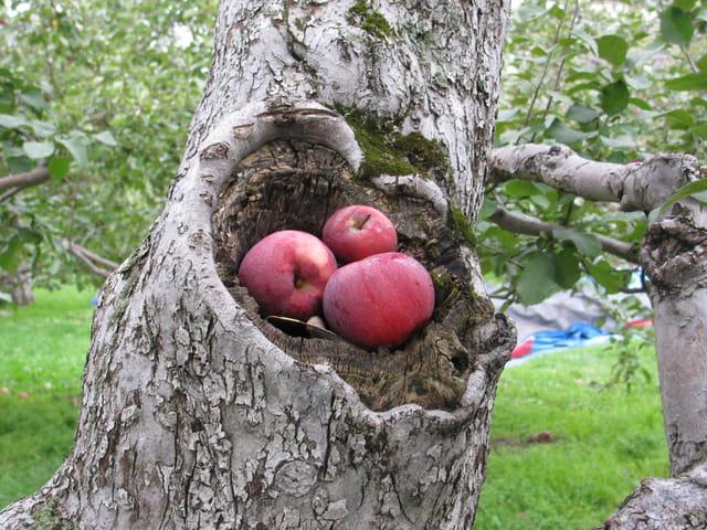 Nid de pommes