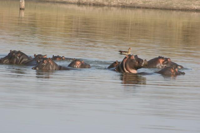 Nombreux hippopotames