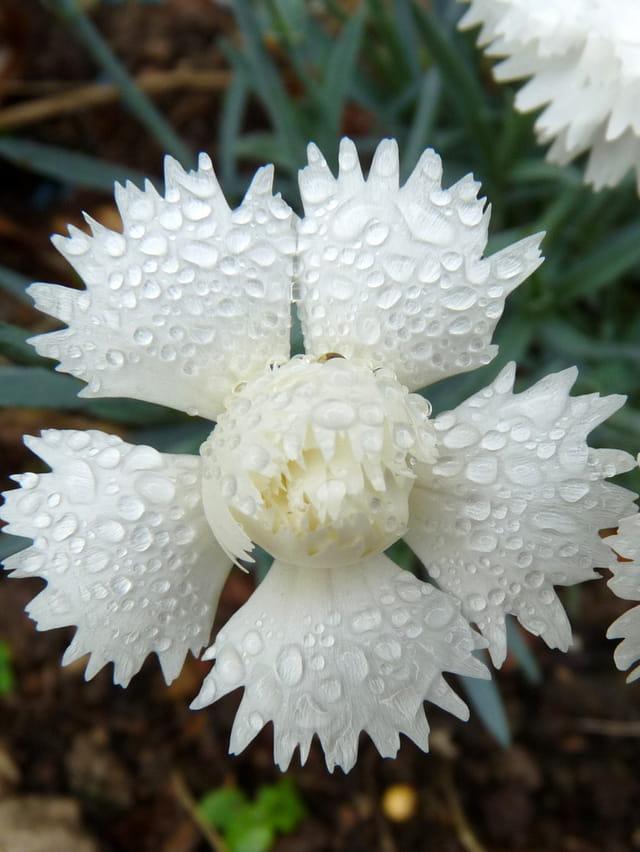Oeillet blanc après l'averse
